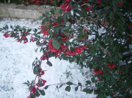 Arbuste en fruits sous la neige